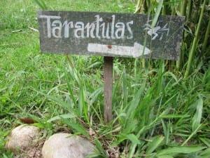 Tarantulas in Ecuador
